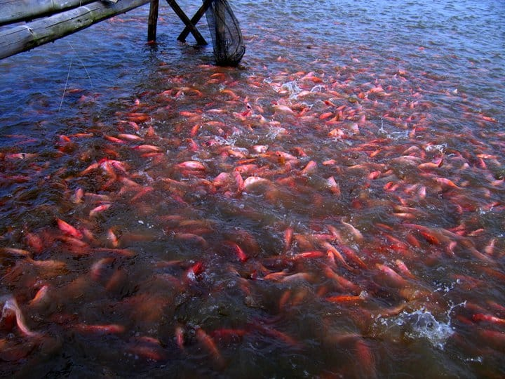 10 Cara Memelihara Ikan Nila Agar Cepat Besar dan Panen ...