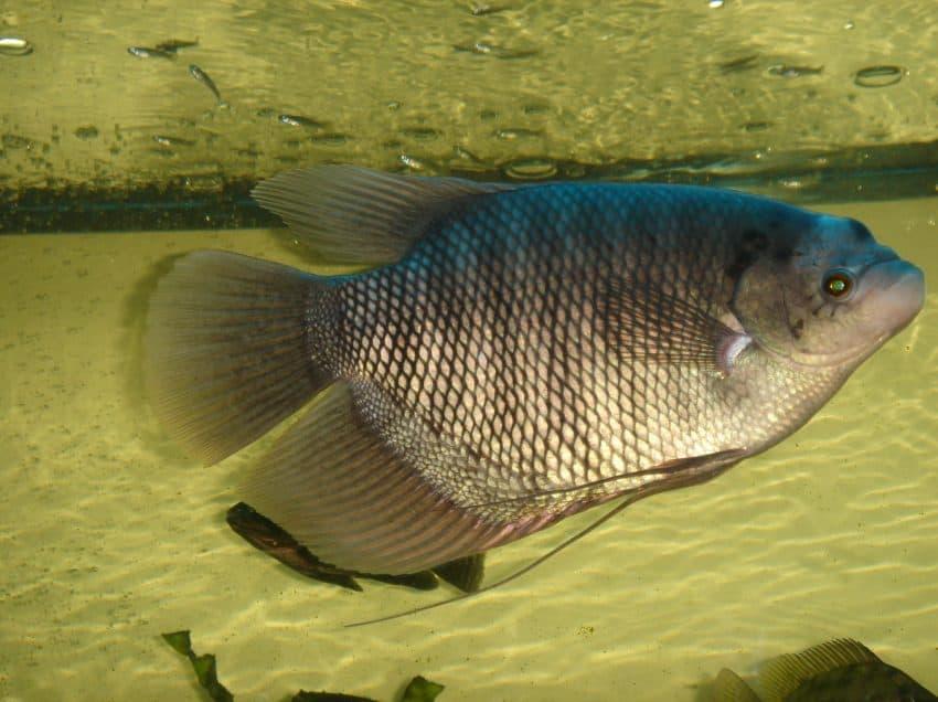 Budidaya Ikan Gurame di Kolam Beton Berkualitas
