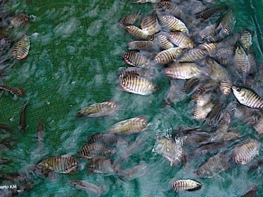 18 Cara Budidaya Ikan Gurame Di Kolam Tanah