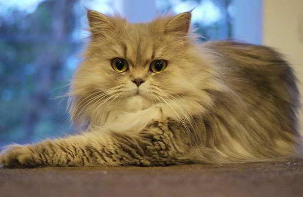 17 Cara Merawat Kucing Persia Medium Mudah Arenahewan Com