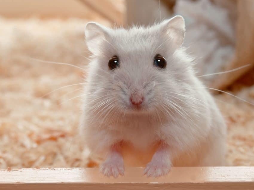 6 Cara Merawat Bayi Hamster Yang Baru Lahir Dengan Baik