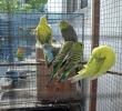 14 Cara Merawat Burung Parkit di Musim Hujan dengan Mudah