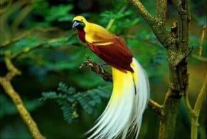 10 Cara Melestarikan Burung Cendrawasih Arenahewan Com