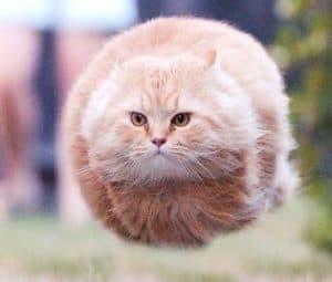 93  Gambar Kucing Gendut Lucu Paling Keren