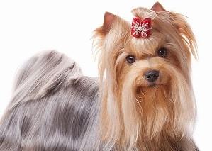 13 Cara Merawat Bulu Anjing Agar Lebat