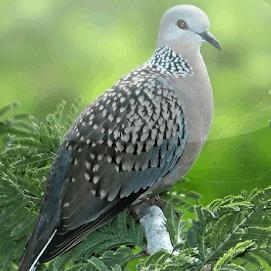 10 Cara Membuat Burung Tekukur Rajin Bunyi Arenahewan Com