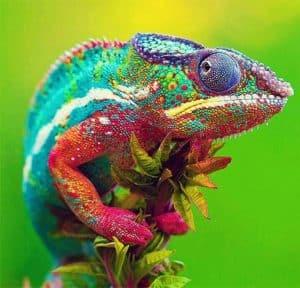 8 Cara Merawat Bunglon Chameleon Arenahewan Com