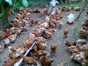 10 Cara Pemberian Vaksin Ayam Petelur - ArenaHewan.com