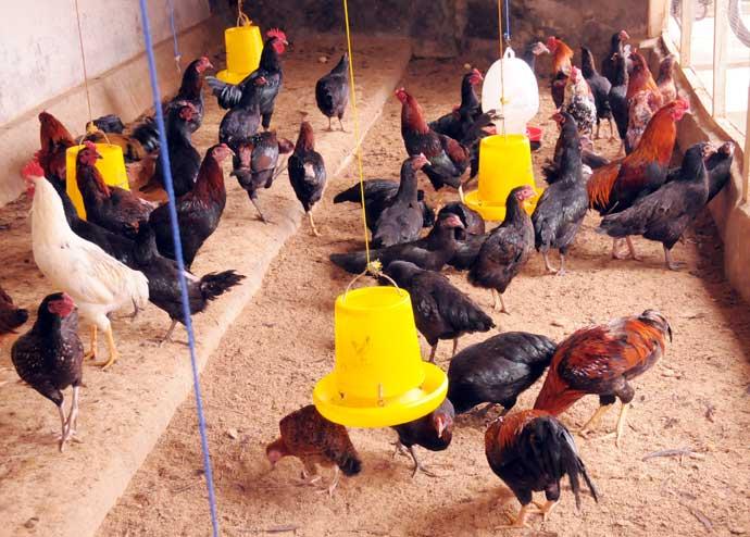 10 Cara Ternak Ayam Bangkok Pedaging