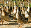10 Cara Mengatasi Rontok Bulu Pada Bebek