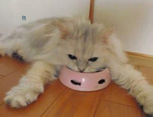 10 Cara Mengobati Flu Pada Kucing Anggora Arenahewan Com