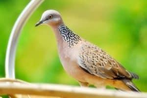 10 Cara Ternak Burung Tekukur Bagi Pemula Arenahewan Com