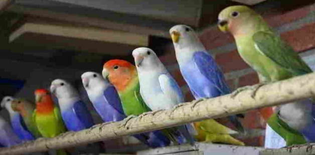 13 Cara Mengatasi Mental Burung Lovebird
