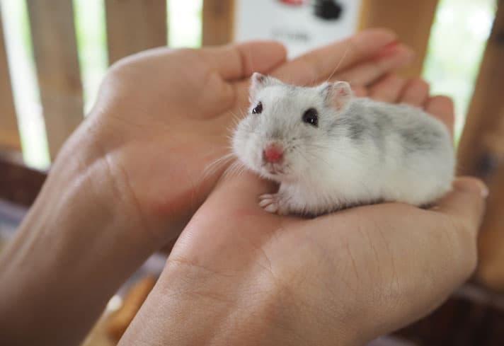 15 Tips Memelihara Hamster Dengan Baik