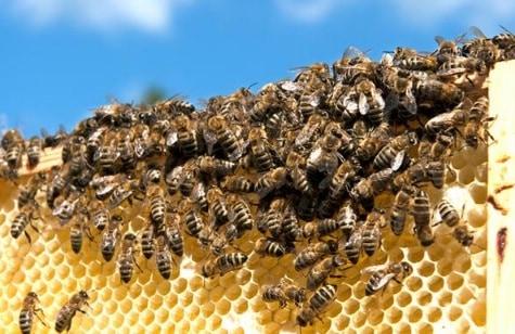 13 Cara Budidaya Lebah Madu liar