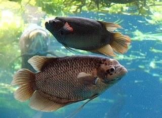 11 Cara Supaya Ikan Gurame Cepat Besar
