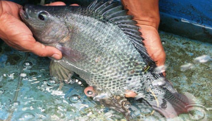 15 Cara Budidaya Ikan Gurame Untuk Pemula