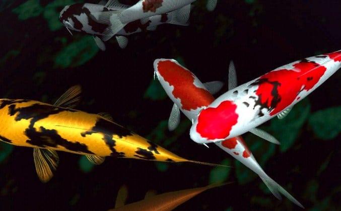 8 Cara Agar Ikan Koi Mau Makan