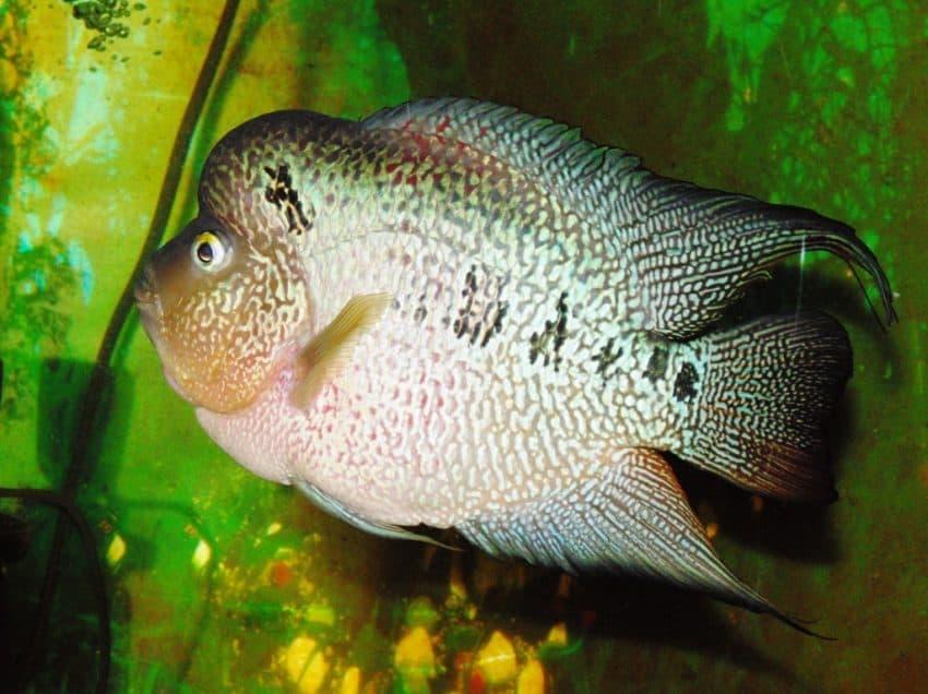 8 Cara Agar Ikan Louhan Tidak Penakut