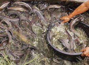 7 Cara Membuat Pakan Ikan Tanpa Mesin Arenahewan Com