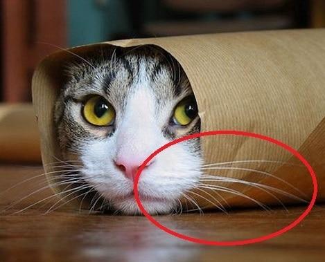10 Fungsi Kumis pada Kucing