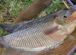 12 Cara Ikan Gurame Cepat Bertelur