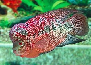 12 Cara Mengobati Ambeien pada Ikan Louhan