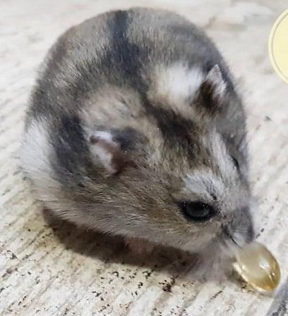 12 Cara Memberikan Minyak Ikan pada Hamster