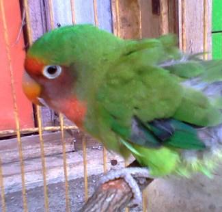 12 Cara Merawat Burung yang Sedang Mabung