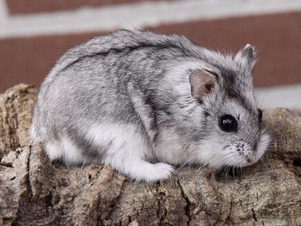 15 Cara Memberikan Minyak Ikan Pada Hamster Anggora