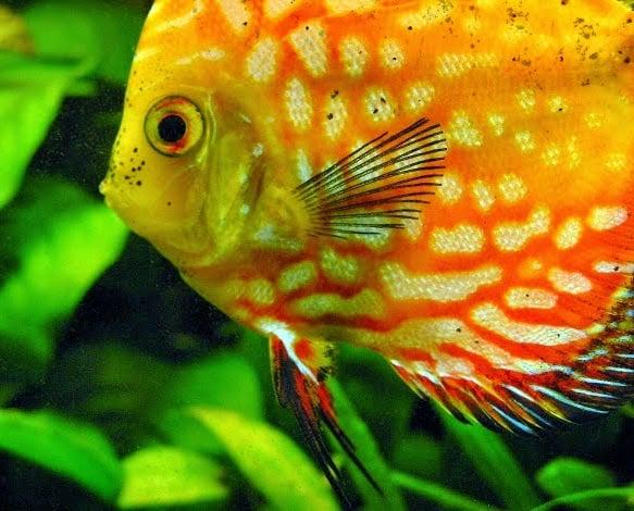 6 Cara Menghilangkan Bintik Hitam Pada Ikan Discus