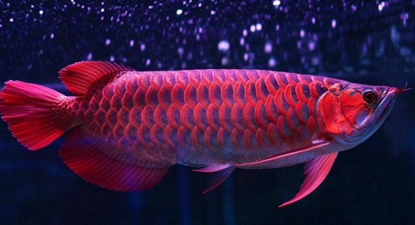 6 Cara Menghilangkan Jamur Pada Mata Ikan Arwana