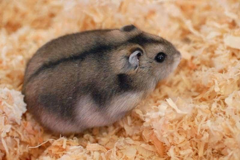 15 Cara Menghilangkan Kutu Pada Hamster