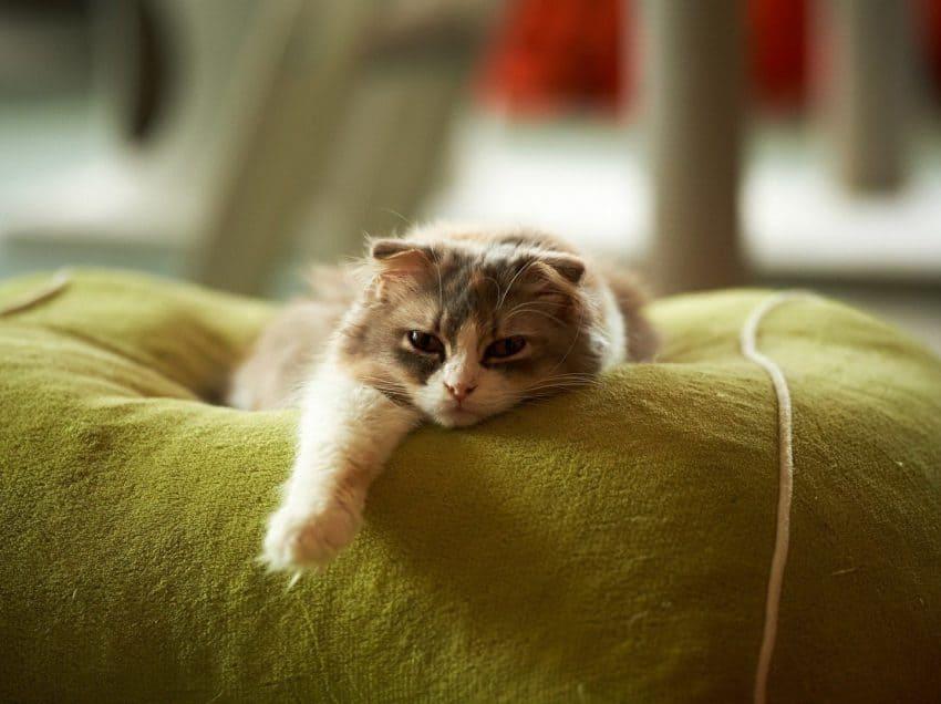 15 Cara Menghilangkan Lem Pada Bulu Kucing