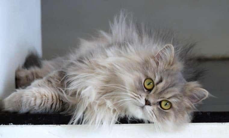 15 Cara Menghilangkan Minyak Pada Bulu Kucing