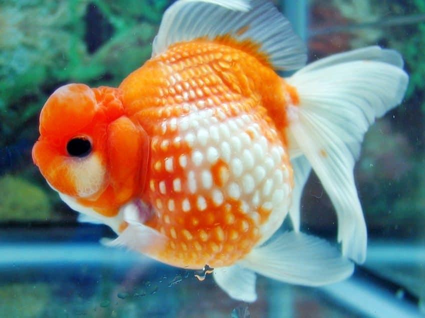 5 Cara Menghilangkan Parasit Pada Ikan Mas Koki
