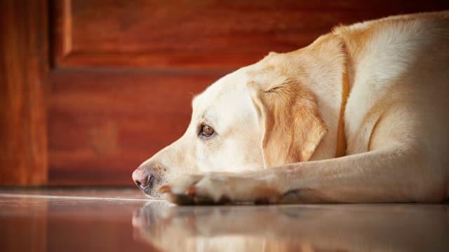 8 Efek Bawang Putih Pada Anjing