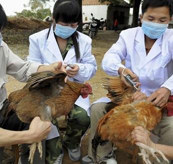 13 Cara Mengatasi Flu Burung pada Ayam