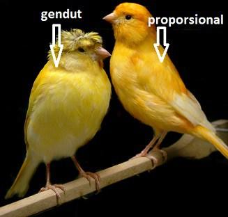 12 Cara Menghilangkan Lemak pada Burung Kenari yang Kegemukan