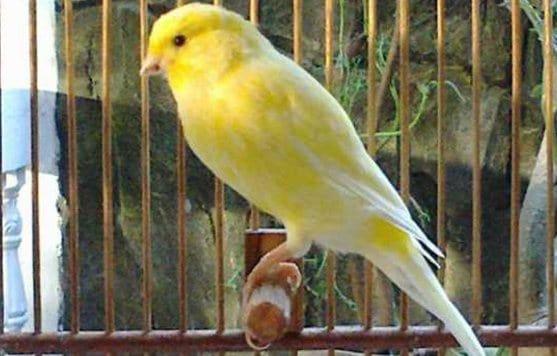 12 Cara Menghilangkan Kutu pada Burung Kenari