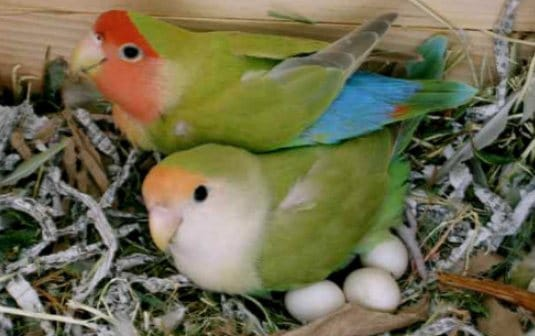 12 Cara Burung Lovebird Cepat Bertelur