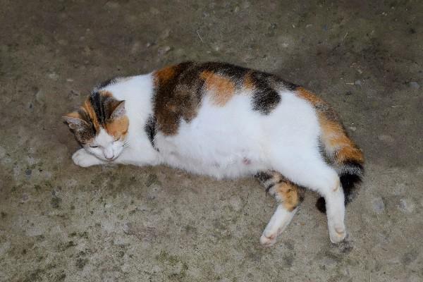 Makanan Untuk Kucing Hamil Yang Baik Untuk Perkembangan Kehamilannya