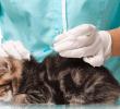 8 Fungsi Vaksin Pada Kucing Untuk Kesehatan