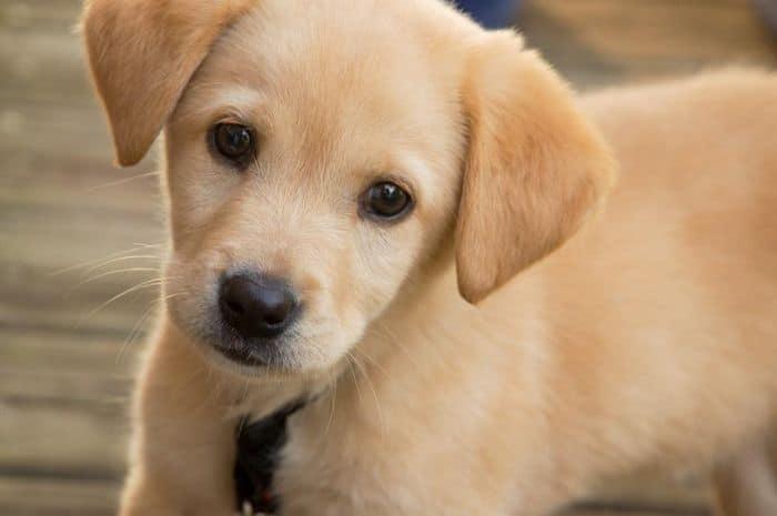 Tanda – tanda Menstruasi Pada Anjing