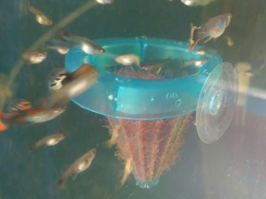 11 Cara Budidaya Cacing Sutra di Akuarium