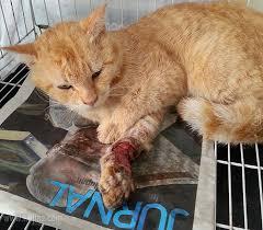 Antibiotik Untuk Kucing Luka Yang Dapat Membantu Proses Penyembuhan