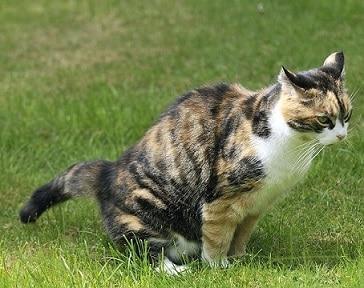 12 Cara Mengobati Kucing Pipis Terus