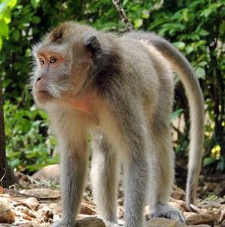 11 Tips Memelihara Monyet Ekor Panjang