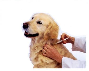 11 Efek Vaksin pada Anjing