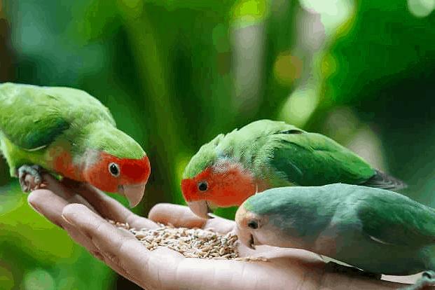 8 Manfaat Jahe Pada Burung Kicau yang Perlu Diketahui